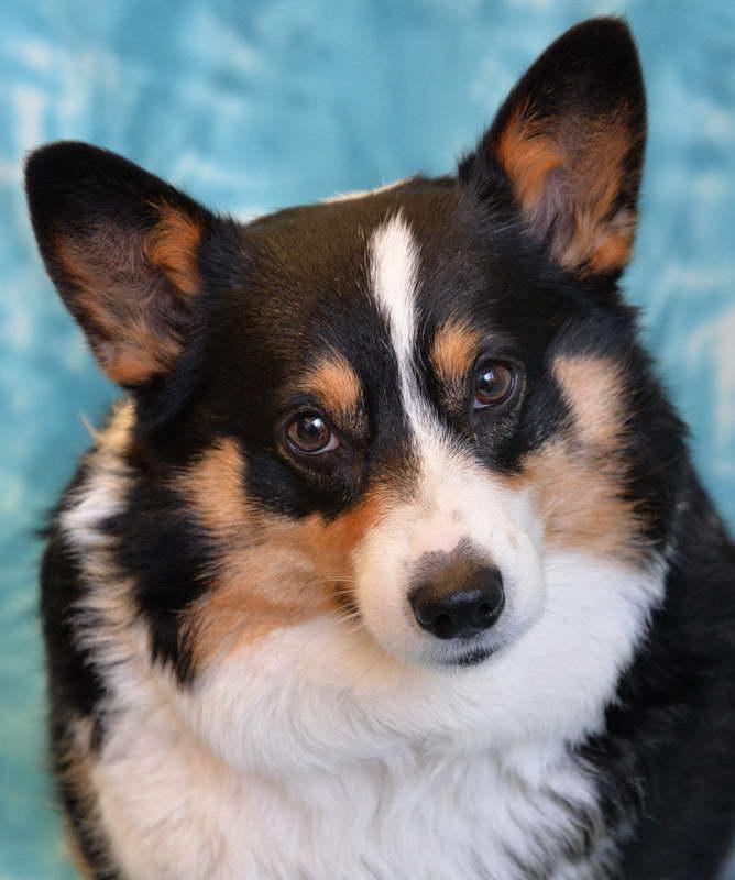 Corgi Dogs For Adoption Near Me Petsidi