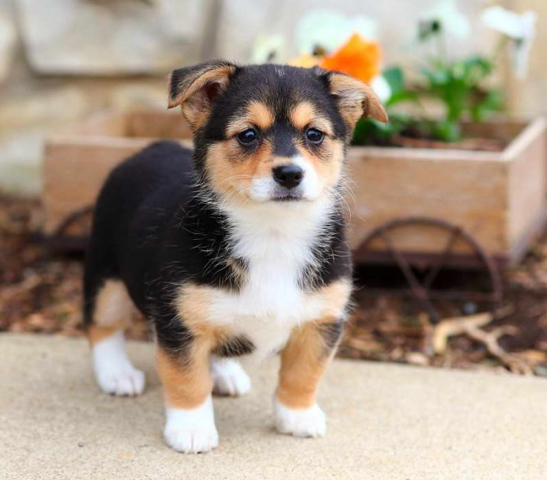 Corgi Mixed Puppies For Sale