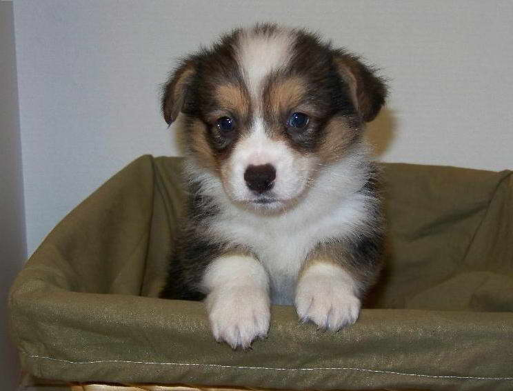 Puppies For Sale In Arkansas Petfinder
