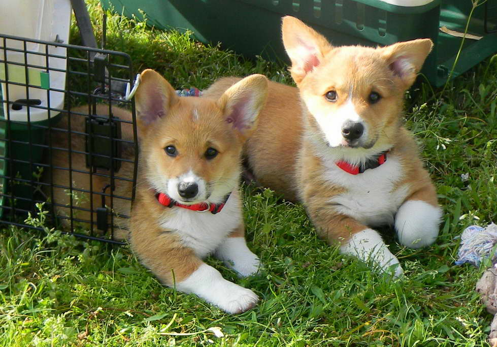 Corgi Puppies For Sale In East Texas | PETSIDI