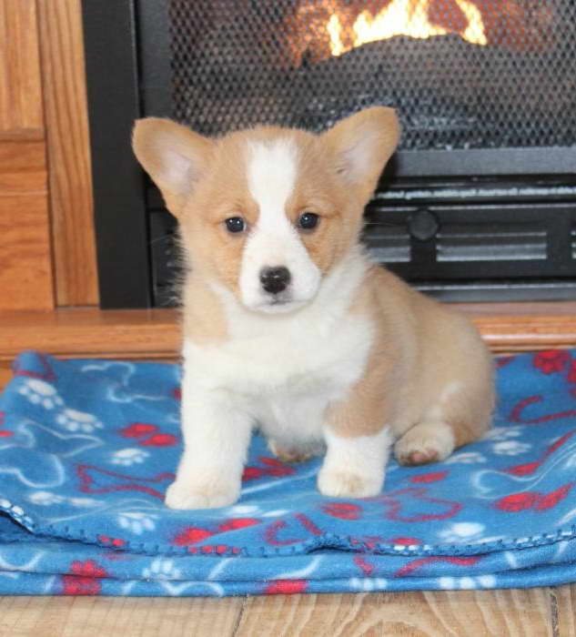 Corgi Puppies For Sale In Iowa | PETSIDI