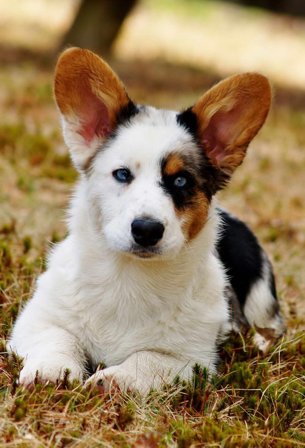 Corgi Puppies For Sale In Nh Petsidi