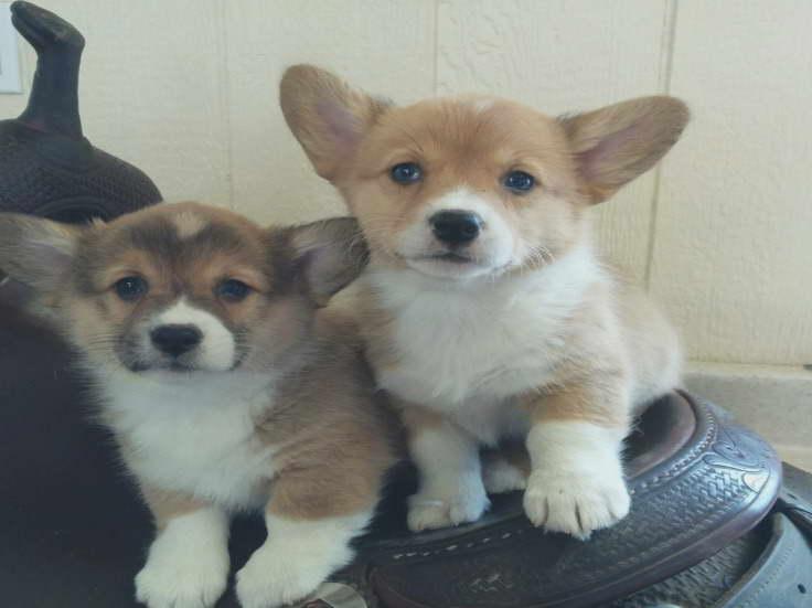 Corgi Puppies For Sale Montana Pets And Dogs