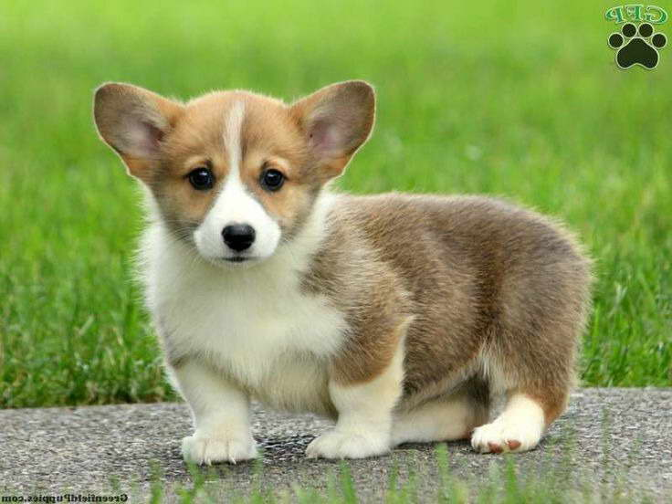 Corgi Puppies For Sale Pa Pets And Dogs