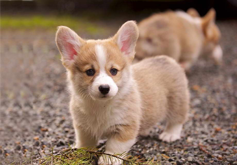 Corgi Puppies For Under 500 Petsidi