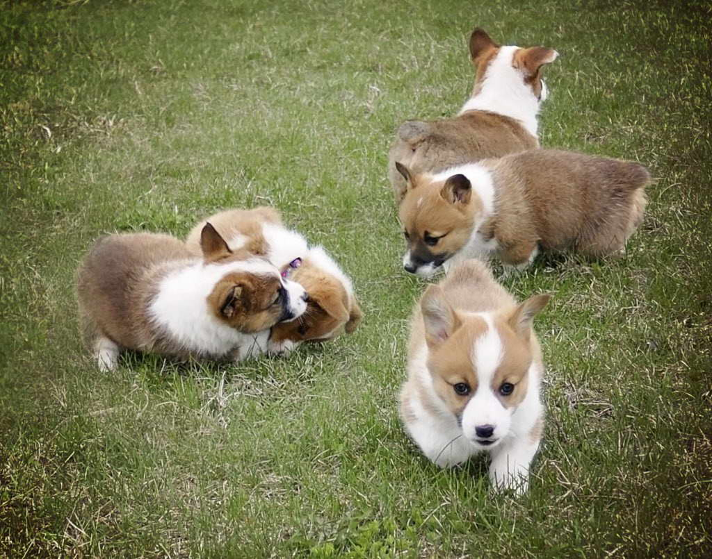 Corgi Puppies Maine Pets And Dogs