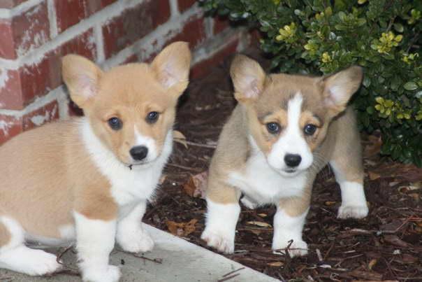Corgi Puppy For Sale Nc