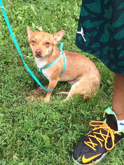 Craigslist Chihuahua For Sale | Pets and Dogs