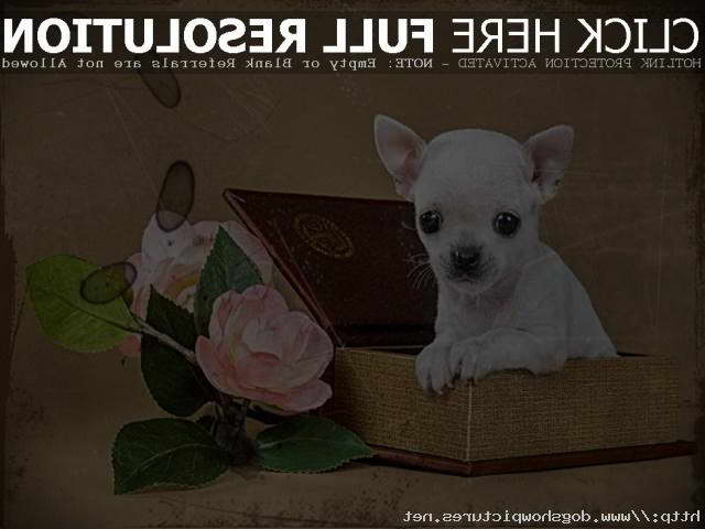 Craigslist Chihuahua Puppies
