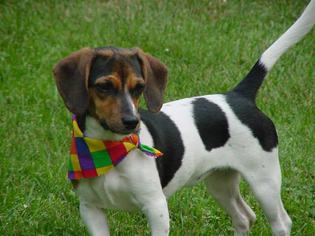 Dachshund Beagle Mix Puppies For Sale