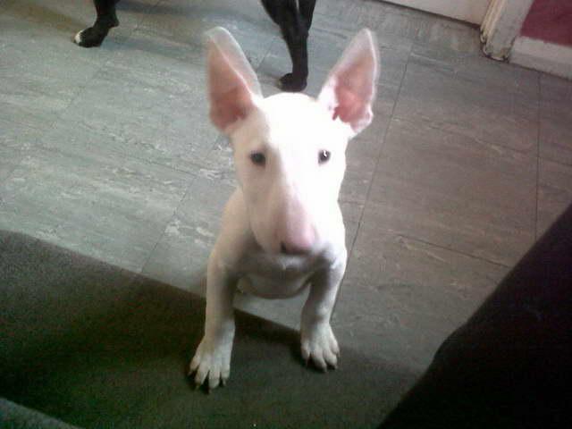 English Bull Terrier Craigslist