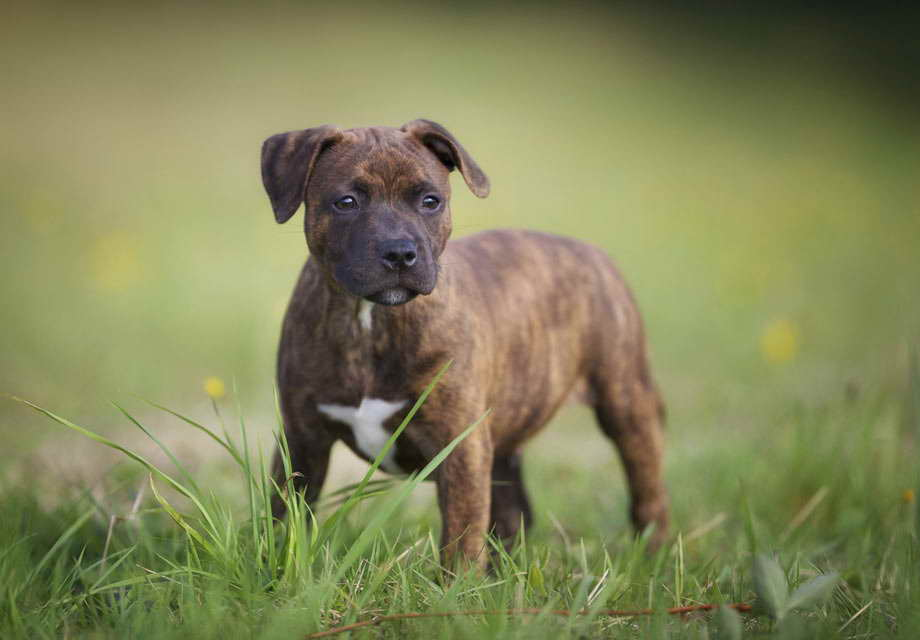 english staffordshire terrier for sale english staffordshire bull terrier puppies for sale pets 3329