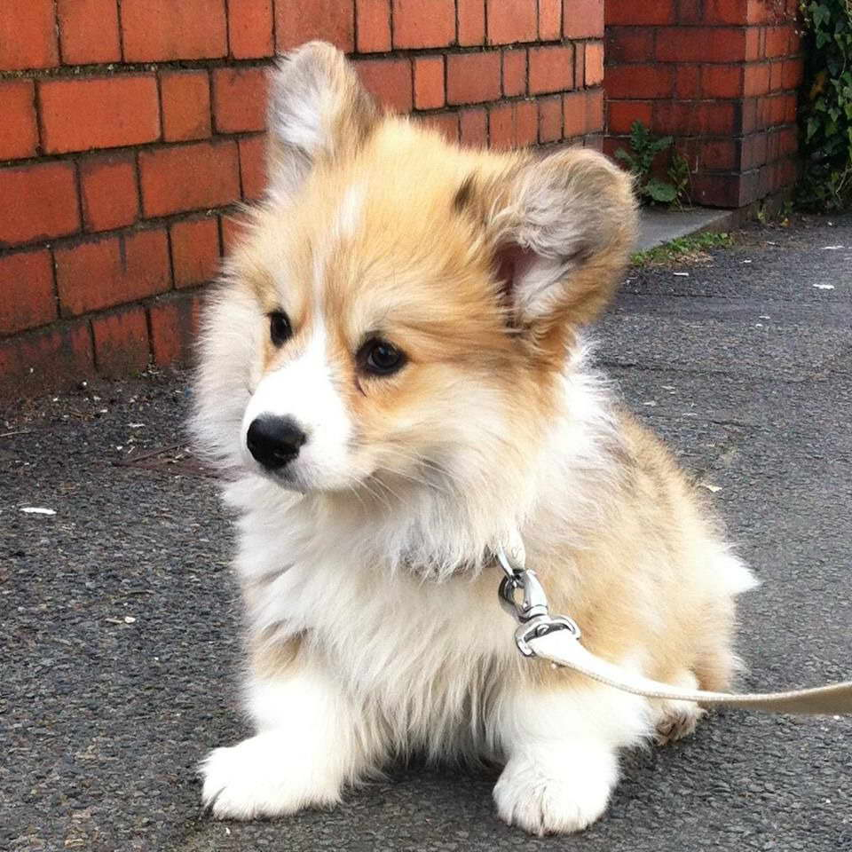 Fluffy Corgi Puppy For Sale | PETSIDI