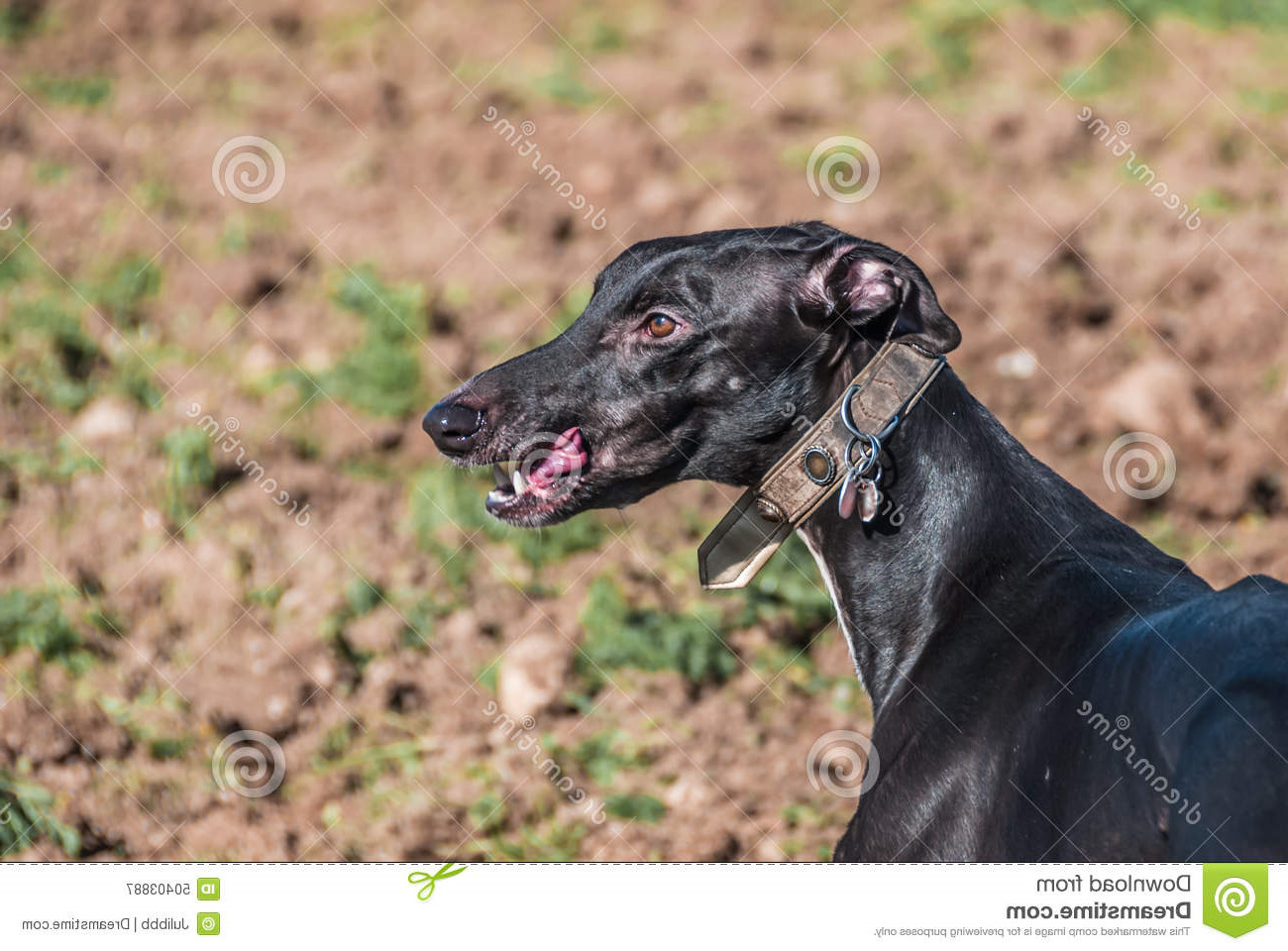 Free Greyhound Dog