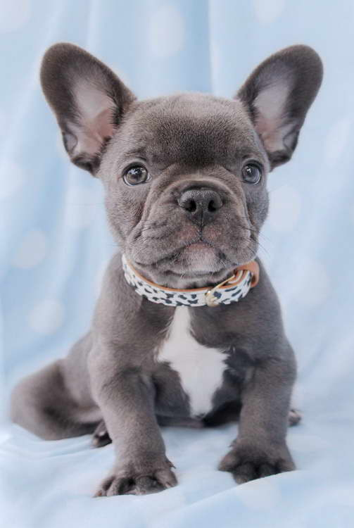 French Bull Terrier Puppies For Sale