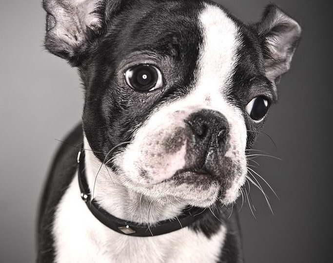 French Bulldog Terrier