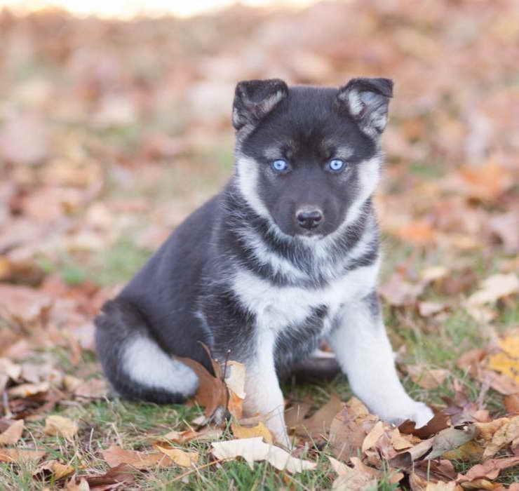 German Shepherd Husky Mix Puppies Sale Craigslist Petsidi