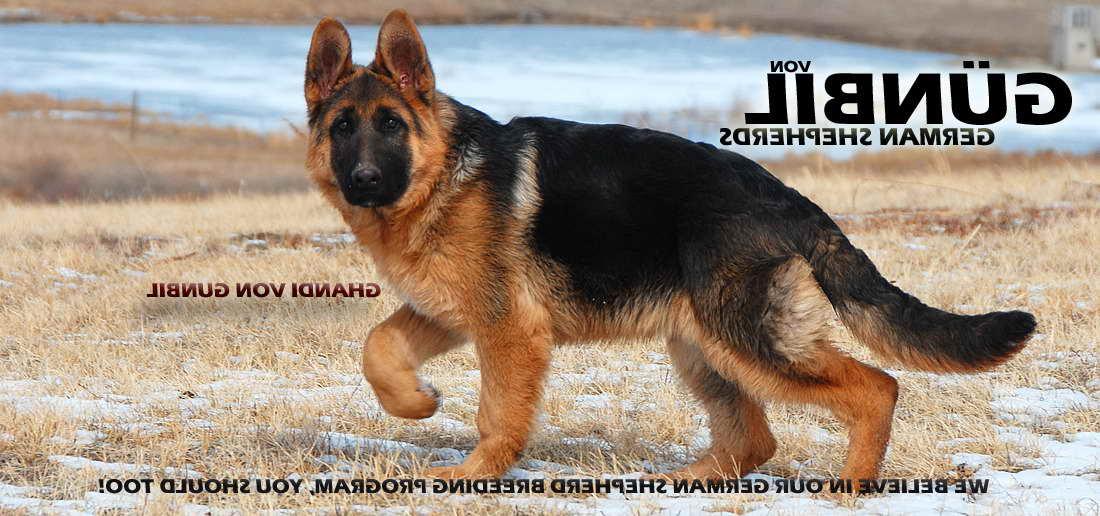 German Shepherd Import Breeders Pets And Dogs
