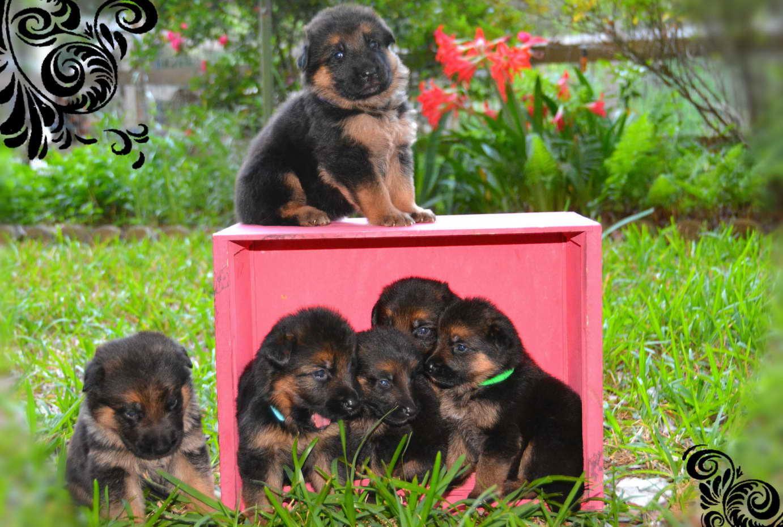 German Shepherd Puppies Austin Texas Petsidi