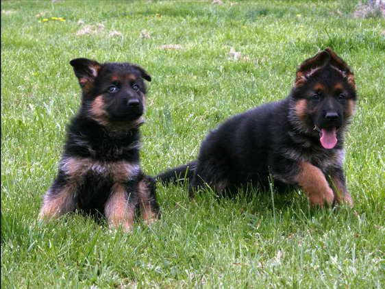 German Shepherd Puppies Cheap Petsidi