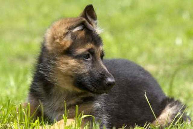 German Shepherd Puppies For Adoption Free