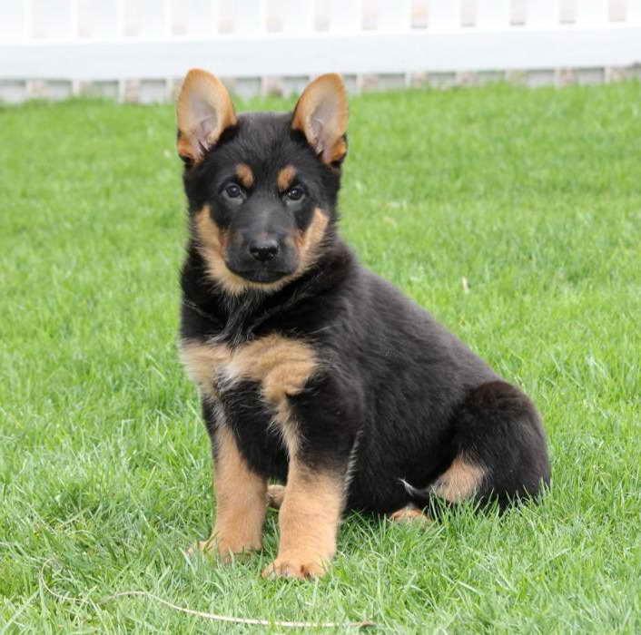 German Shepherd Puppies For Sale Craigslist   PETSIDI
