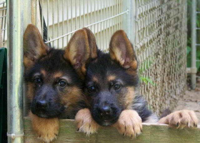 German Shepherd Puppies For Sale In Ct