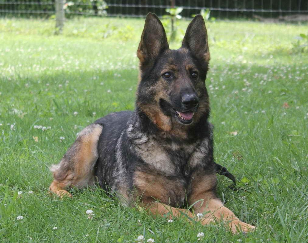German Shepherd Puppies For Sale In Knoxville Tn | PETSIDI