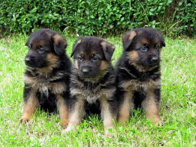 German Shepherd Puppies For Sale In Memphis Tn Petsidi