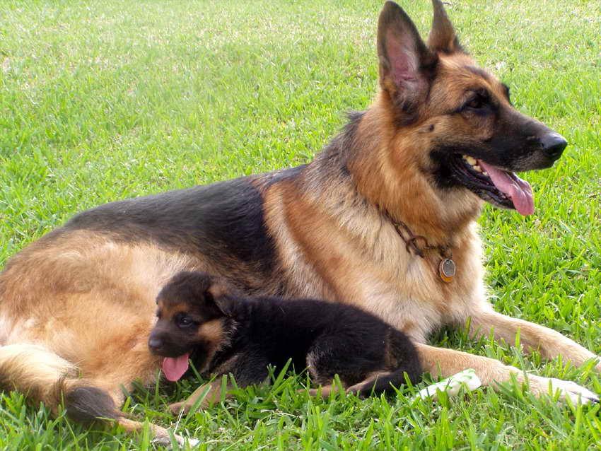 German Shepherd Puppies For Sale In My Area | PETSIDI