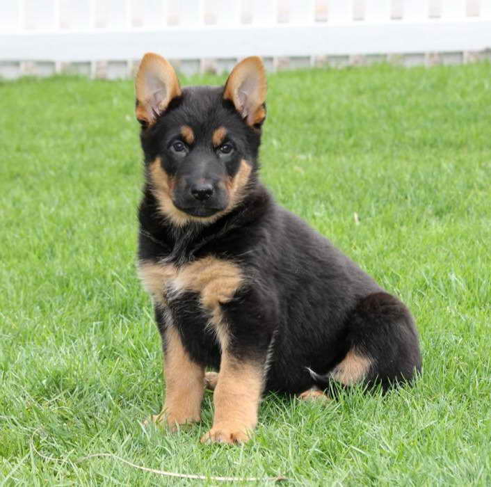 German Shepherd Puppies For Sale In Nj Craigslist | Pets and