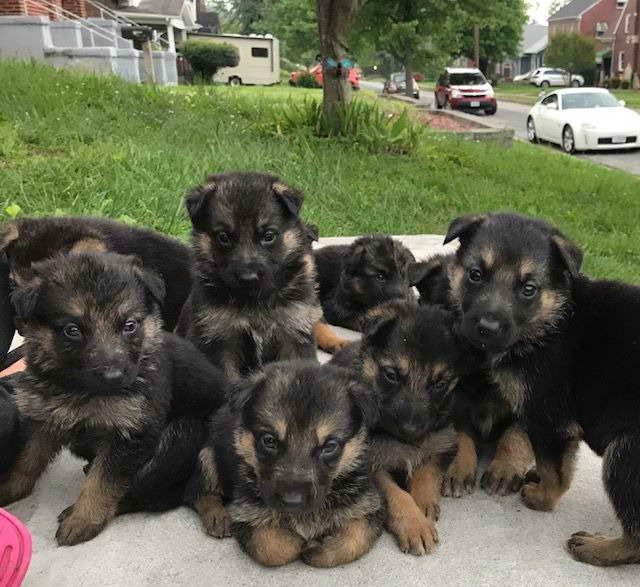 German Shepherd Puppies For Sale In Roanoke Va   PETSIDI