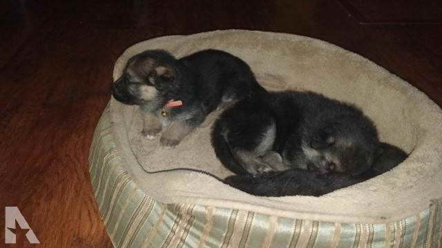 German Shepherd Puppies For Sale In Stockton Ca   PETSIDI