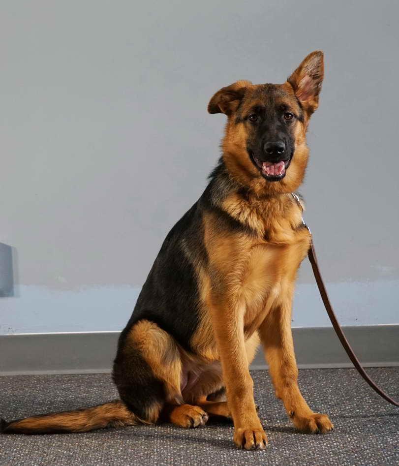 German Shepherd Puppies For Sale Toledo Ohio Petsidi