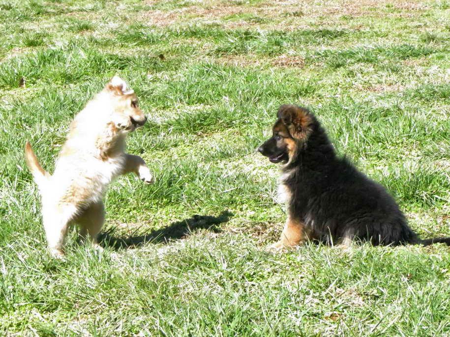 German Shepherd Puppies Jacksonville Nc Petsidi