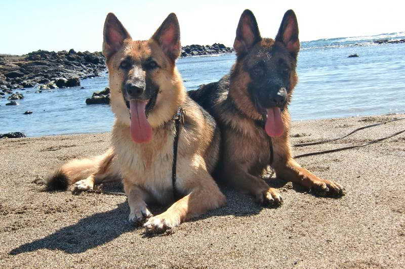 German Shepherd Puppies Oahu | PETSIDI