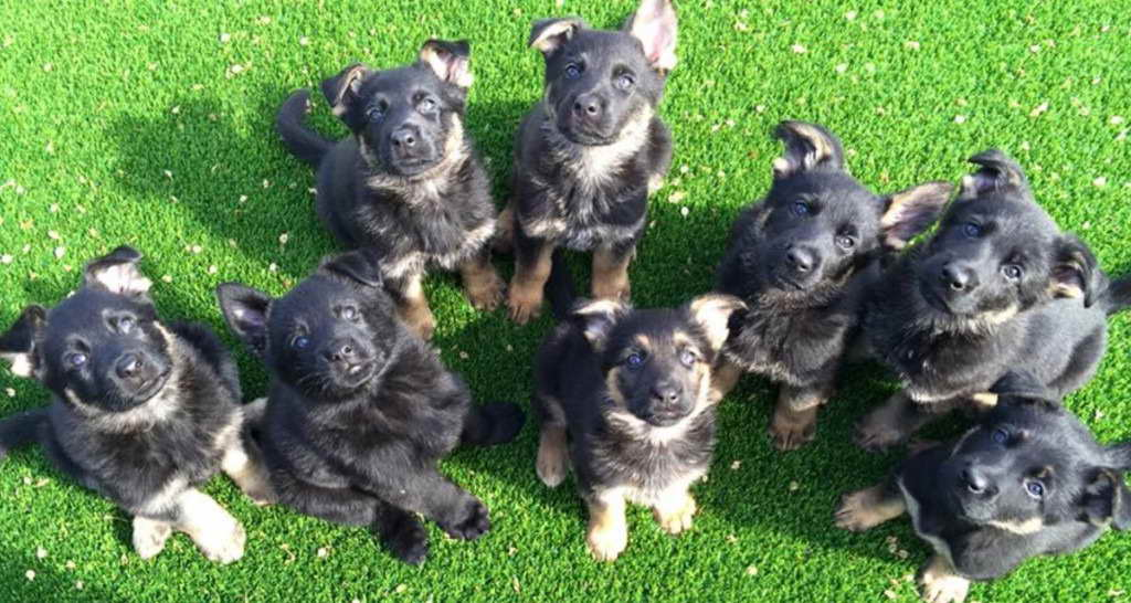 German Shepherd Puppies Oklahoma | PETSIDI