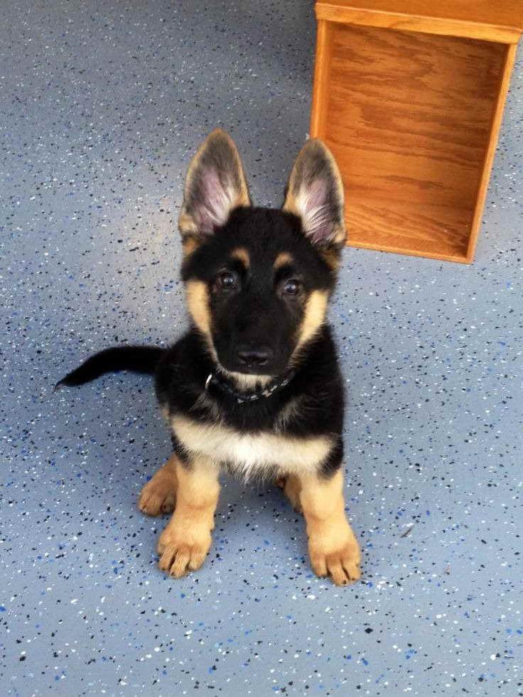 German Shepherd Puppies Price Range