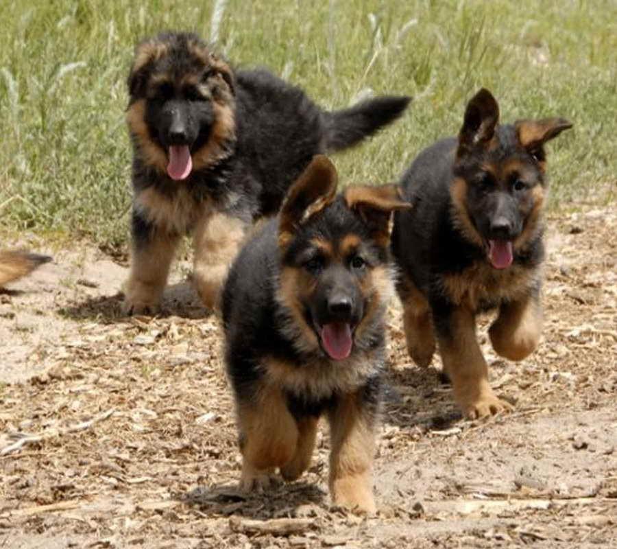 German Shepherd Puppies Rescue Colorado