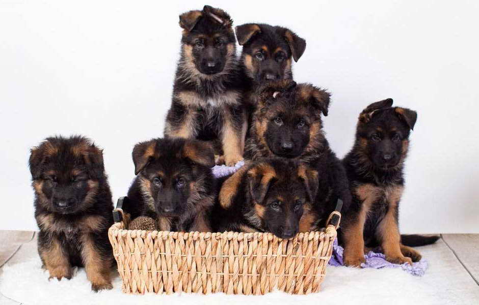 German Shepherd Puppies Savannah Ga Petsidi