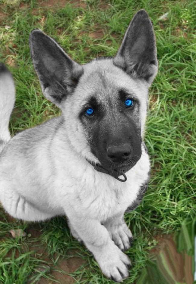 German Shepherd Puppies With Blue Eyes For Sale | PETSIDI