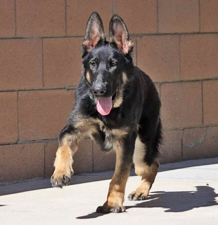 German Shepherd Rescue Los Angeles Pets And Dogs