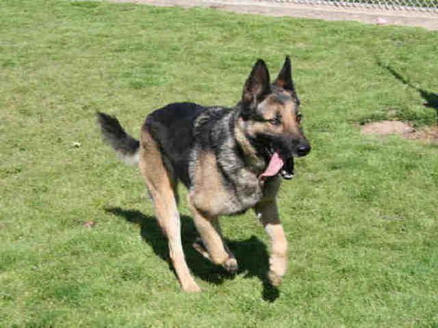 German Shepherd Rescue Modesto Ca   PETSIDI