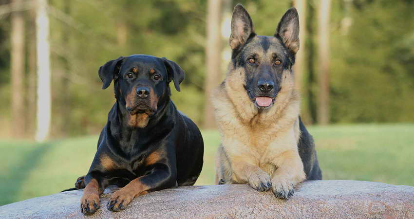 German Shepherd Rottweiler Mix Full Grown Pets And Dogs