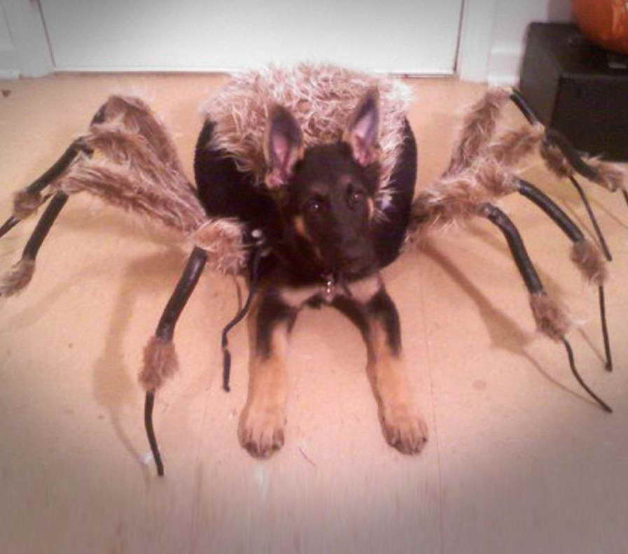 German Shepherd Spider Costume Petsidi