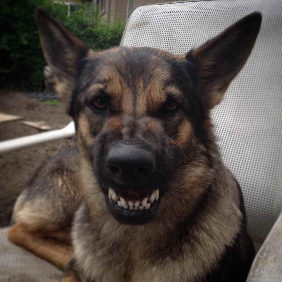 German Shepherd Teeth Petsidi