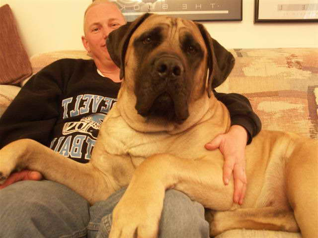 Giant English Mastiff Puppies For Sale | Pets and Dogs