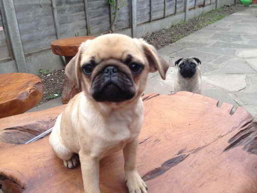 Girl Pug Puppies For Sale