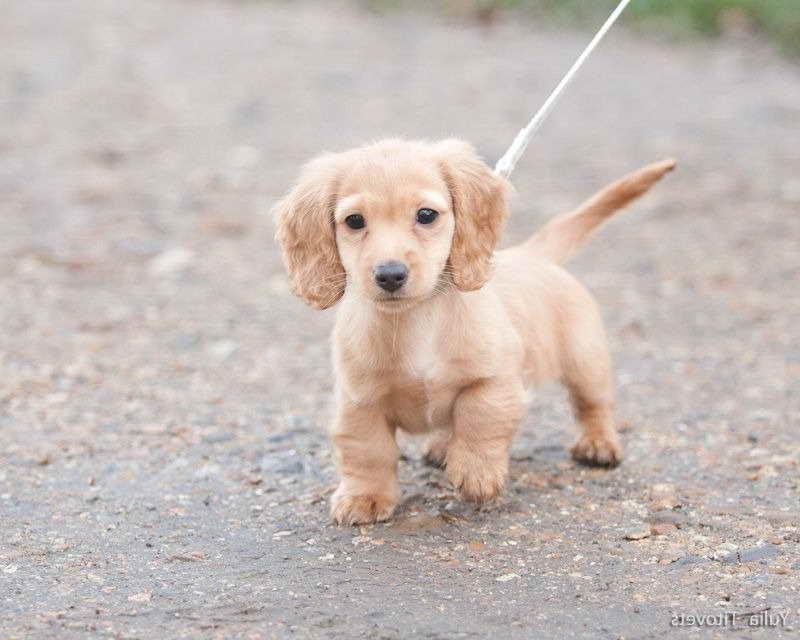 Golden Dachshund Puppies Petsidi