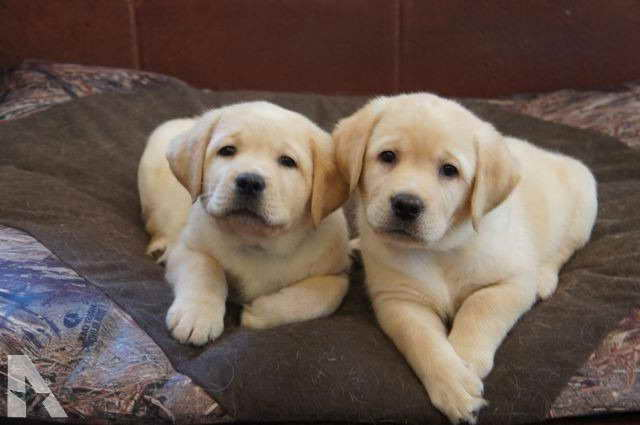 Golden Labrador Puppies For Sale Near Me Pets And Dogs